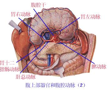解剖学 腹主动脉