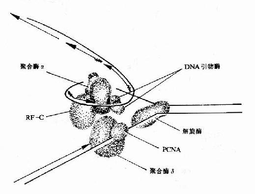 生物化学与分子生物学 DNA复制的终止阶段