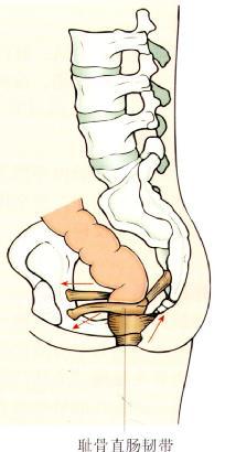 盆底的提肛肌包括耻骨 尾骨肌(与耻骨直肠肌组成耻骨直肠韧带)(图
