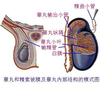解剖学/睾丸附睾 - A+医学百科
