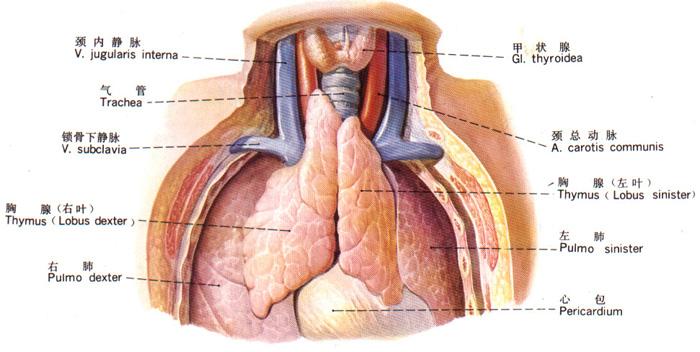 (一)位置:上纵隔的前部,胸骨柄的后方,由左、右两叶组成 (二)