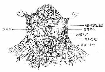 人体解剖学 颈部浅结构