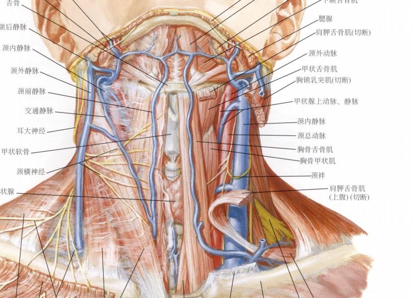 颈内静脉解剖图 头颈内静脉解剖图 颈内静脉穿刺解剖图